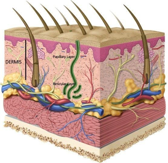 the dermis and deeper tissues