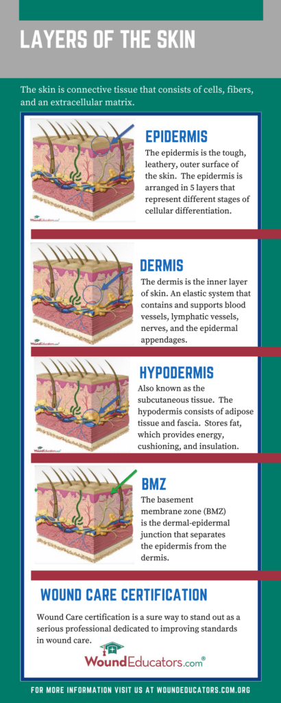 skin layers Infographic